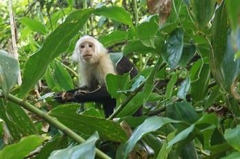 singe-costa-rica