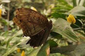 papillon-costa-rica