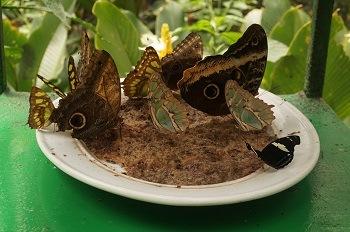 papillons-monteverde-costa-rica